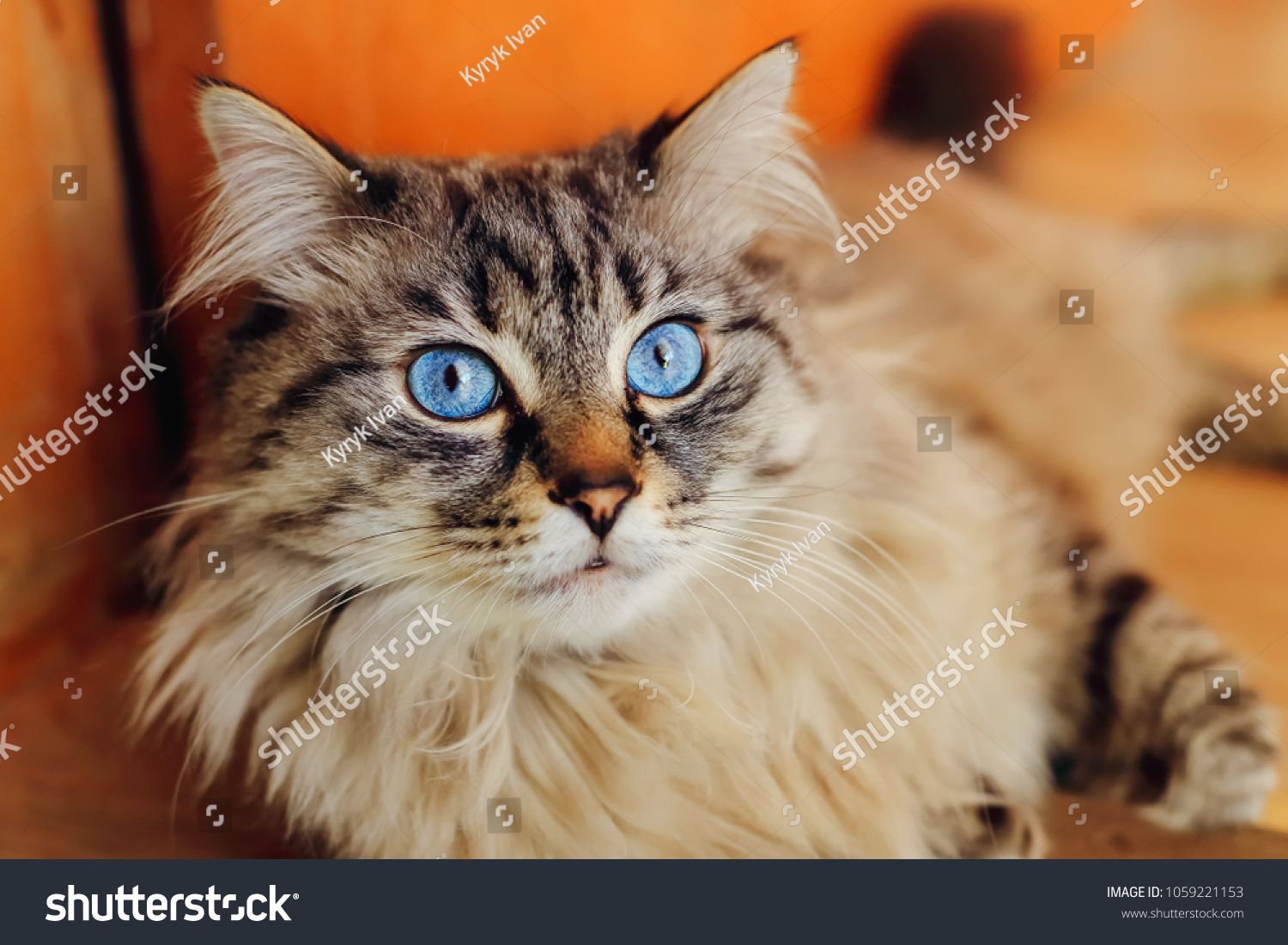 A close-up of a breeding cat that lies on the floor and looks at the camera lens #1059221153