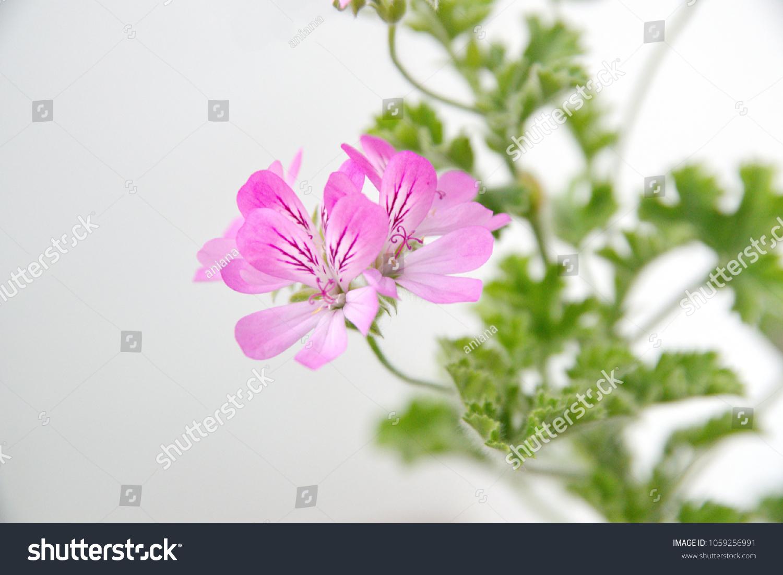 Pelargonium fragrance pink flowers on ceramic stock photo royalty pelargonium fragrance pink flowers on ceramic stock photo royalty free 1059256991 shutterstock mightylinksfo