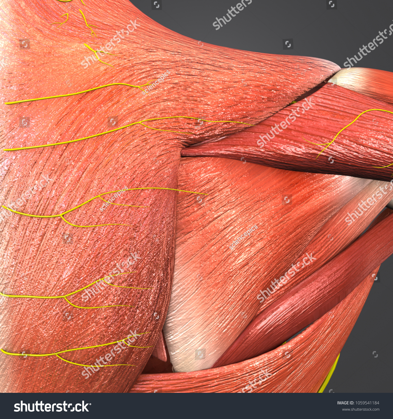 Shoulder Muscle Anatomy Nerves Posterior View Stock Illustration
