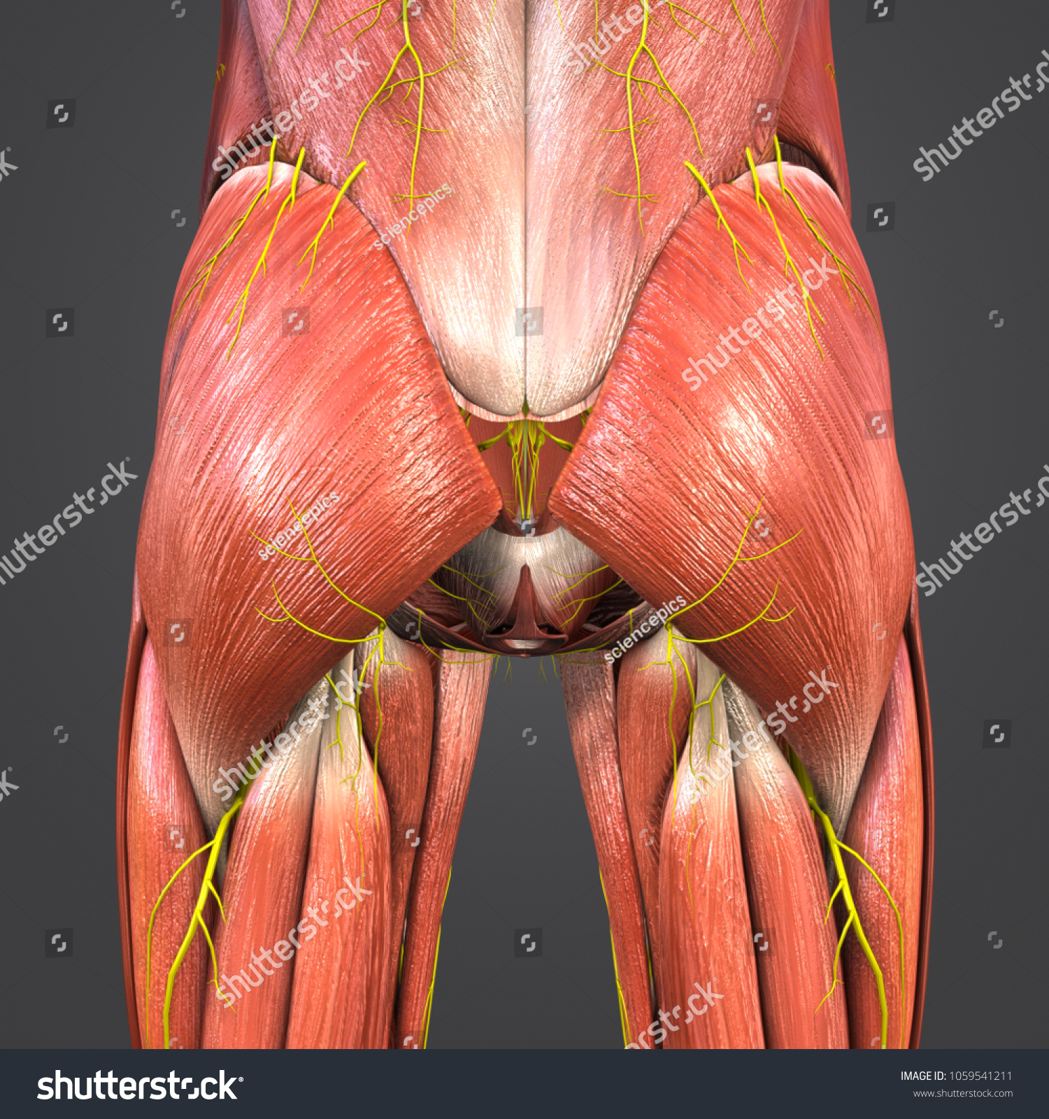 Hip Muscles Anatomy Nerves Posterior View Stock Illustration