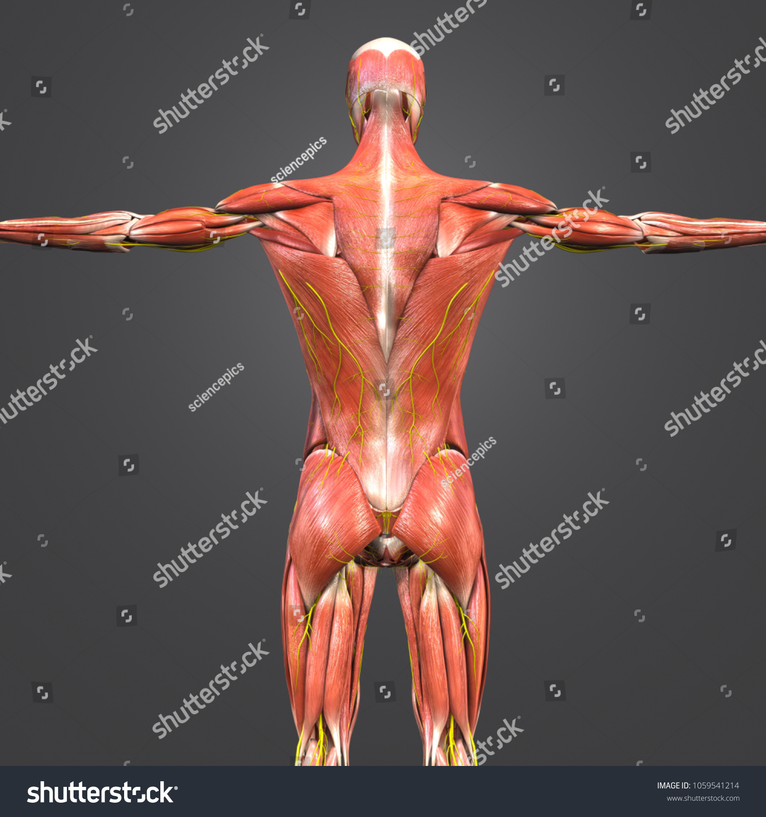 Muscles Anatomy Nerves Posterior View 3 D Stock Illustration ...