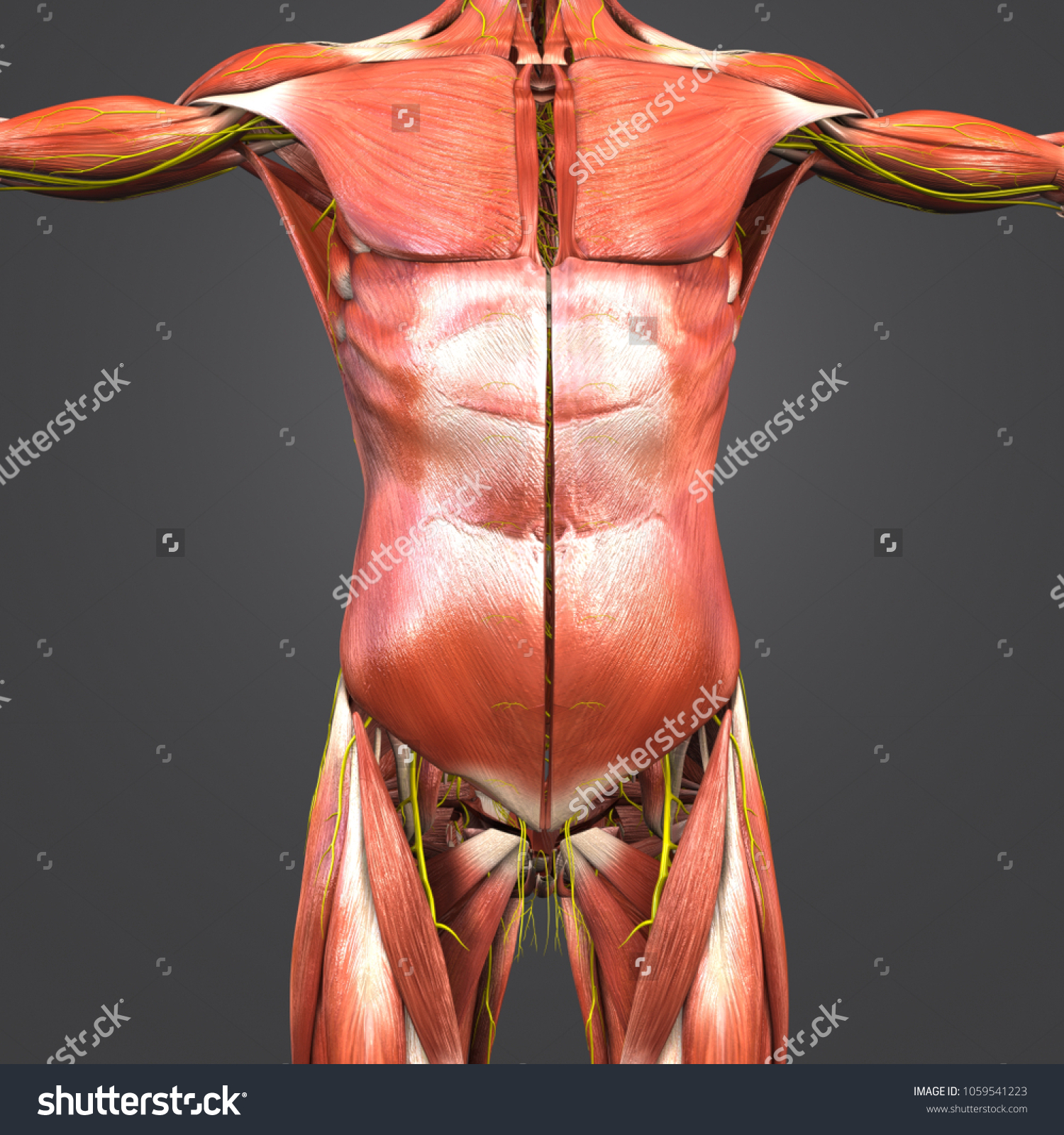 Muscles Anatomy Nerves Anterior View 3 D Stock Illustration ...