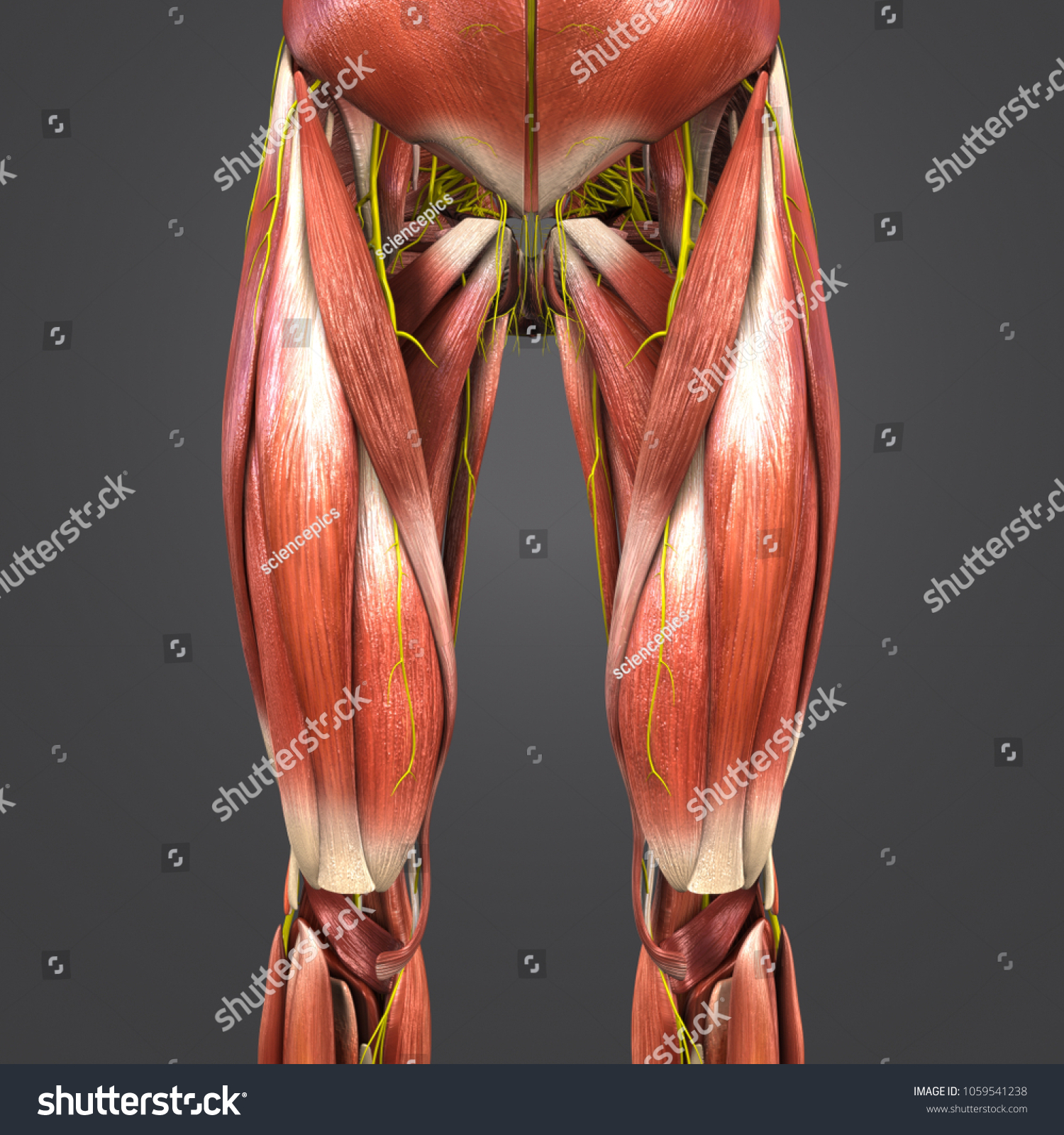 Lower Limbs Muscles Anatomy Nerves Anterior Stock Illustration ...