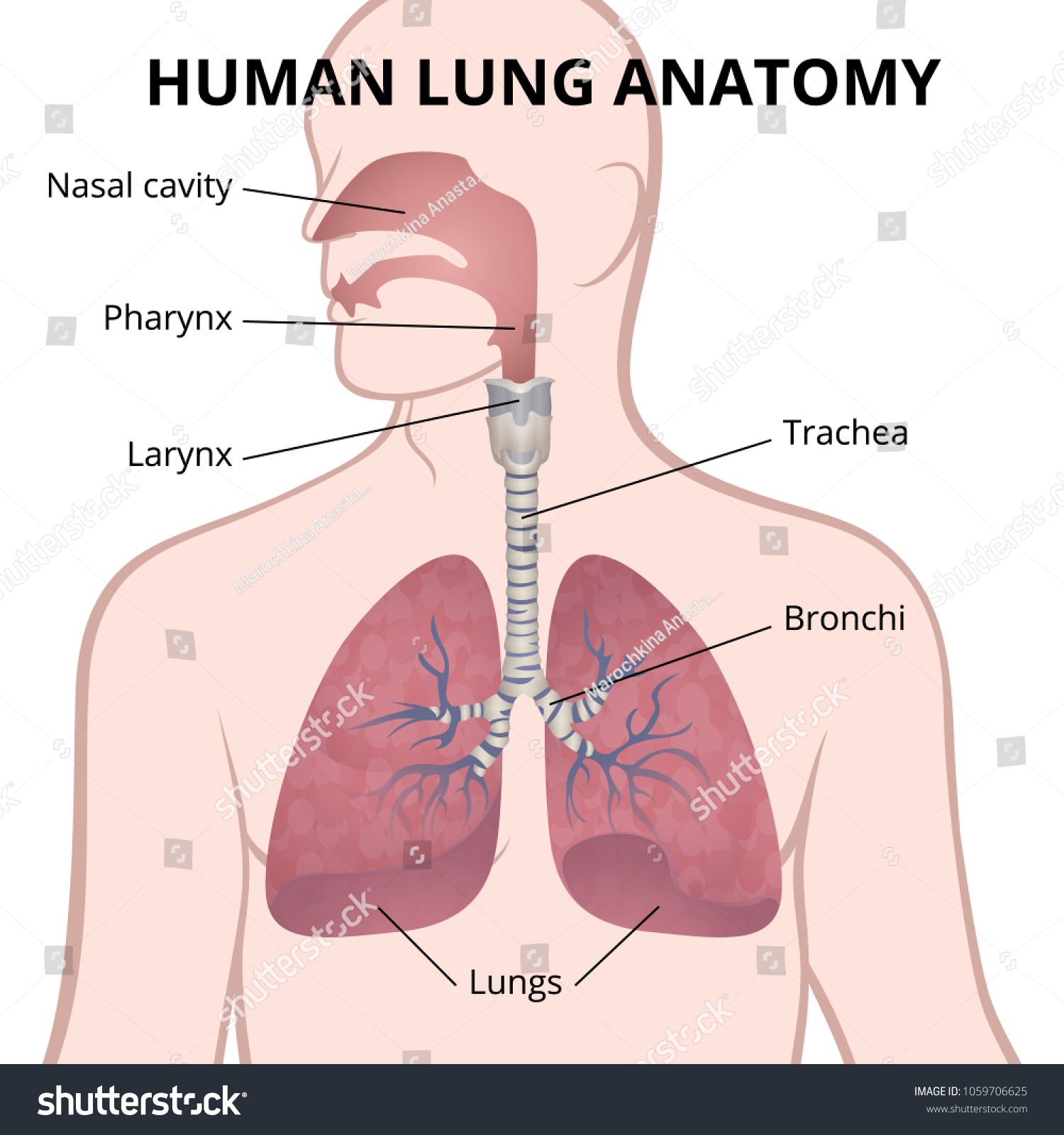 Image Anatomy Lungs Location Internal Organs Stock Vector Royalty