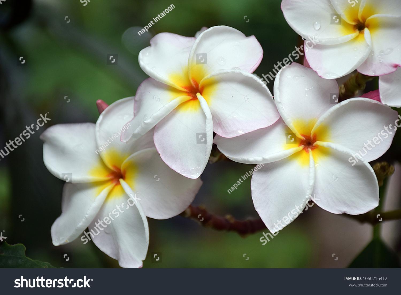 Beautiful White Plumeria Flower Thais Means Stock Photo Edit Now
