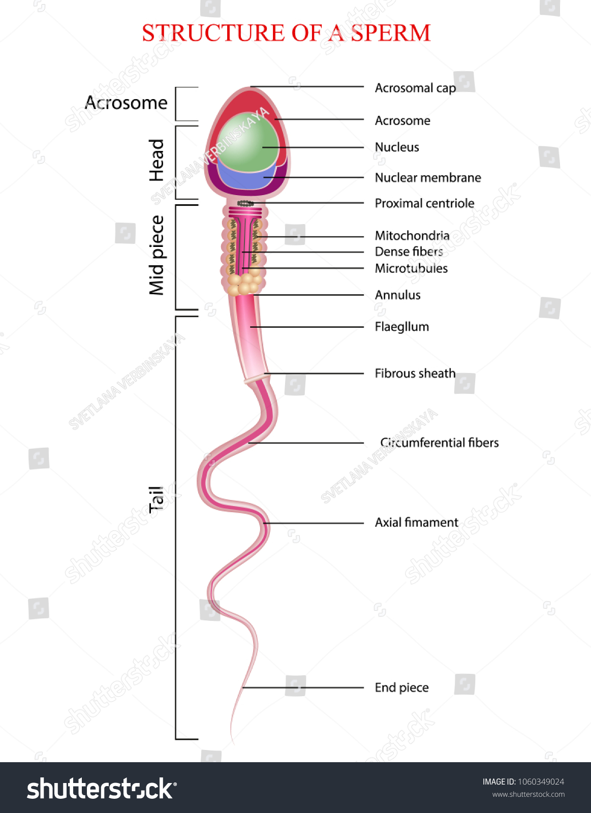 Stock Photo Human Sperm Cell Anatomy Structure Of Spermatozoon