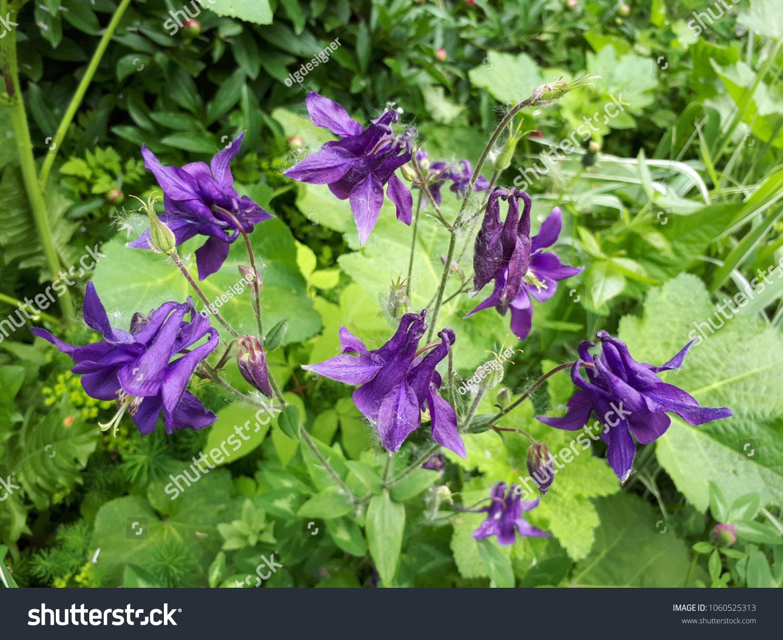 Beautiful Purple Columbine Flowers Garden Seasonal Stock Photo Edit
