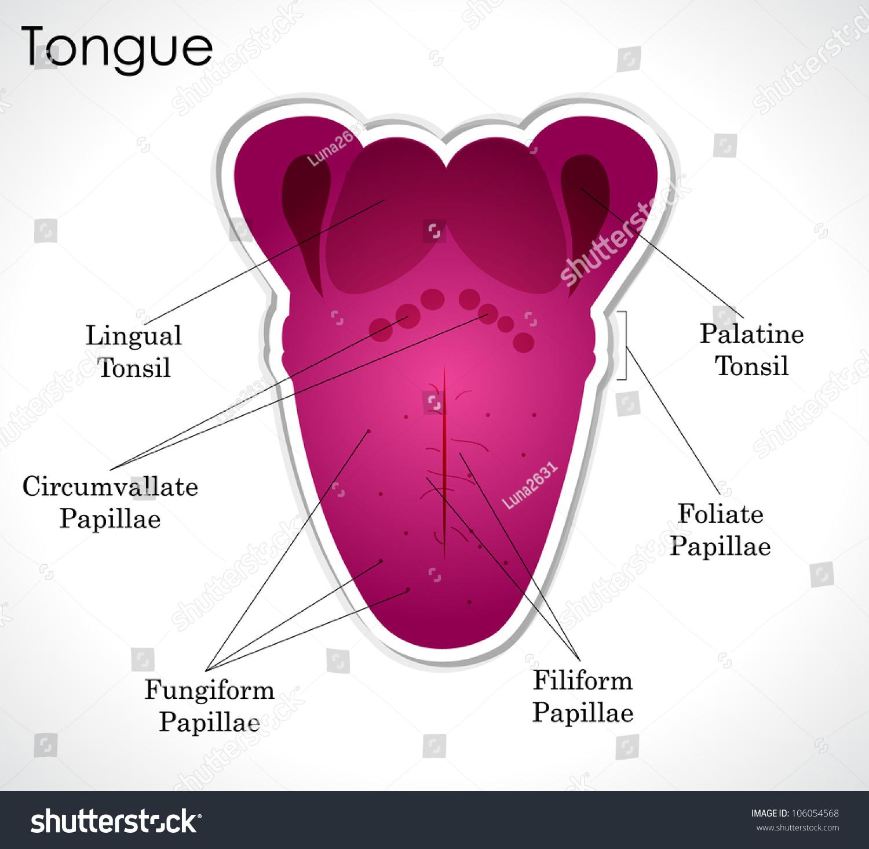 Anatomy Human Tongue Vector Version Available Stock Illustration