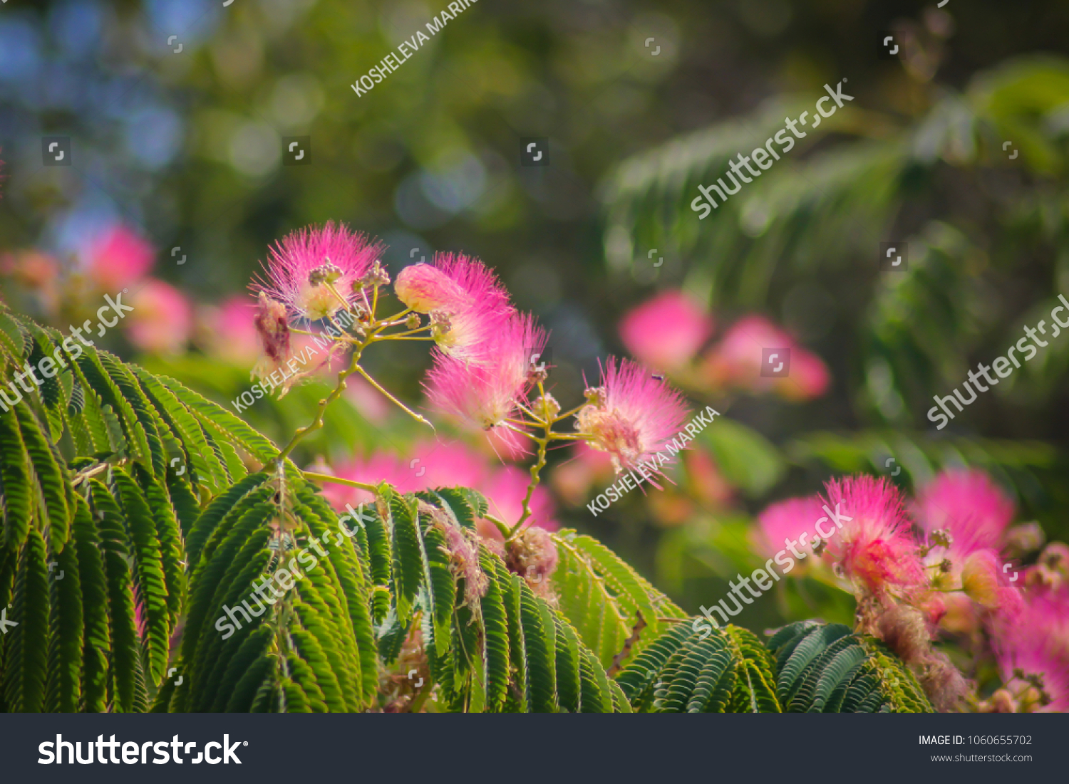 Pink Fluffy Flowers On Flowering Acacia Stock Photo Edit Now