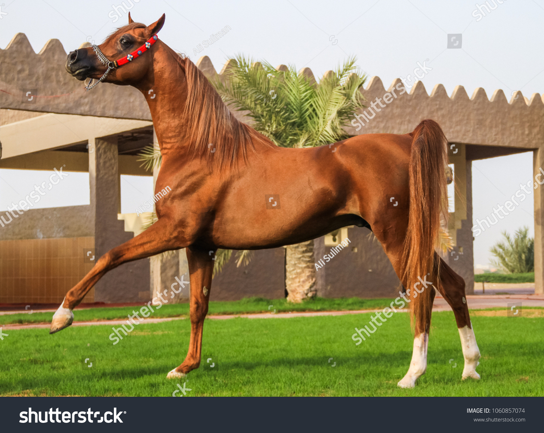 Brown Arabian Horse United Arab Emirates Stock Photo Edit Now 1060857074