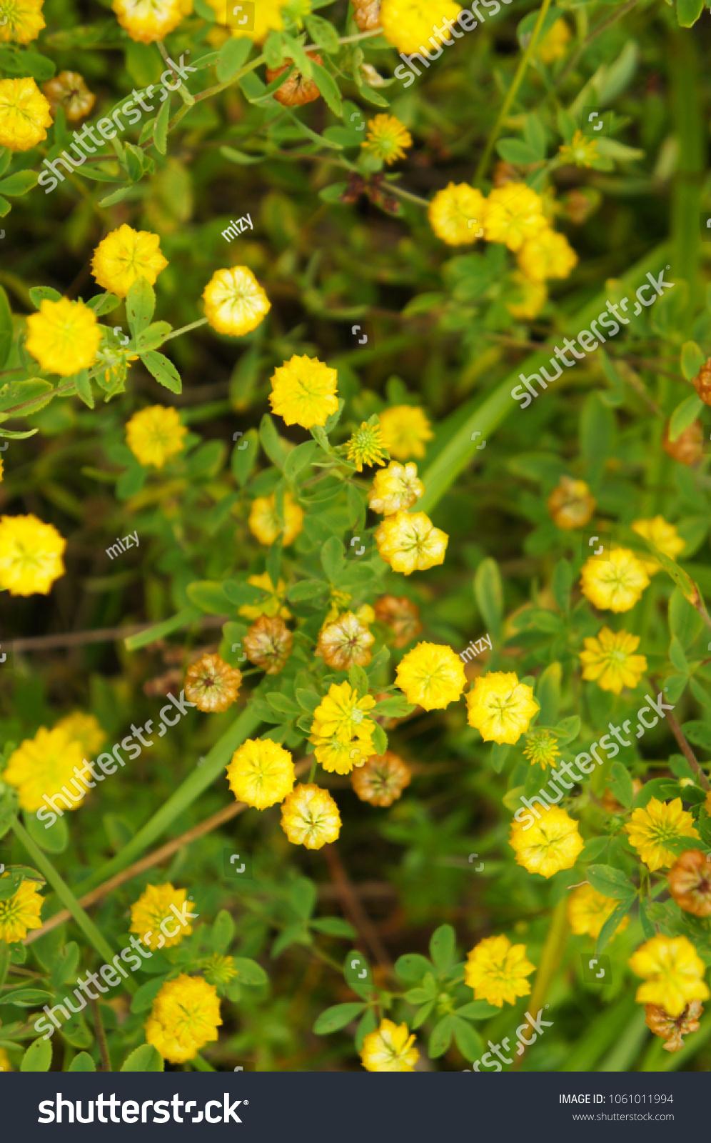 Trifolium Aureum Large Hop Trefoil Golden Stock Photo Royalty Free