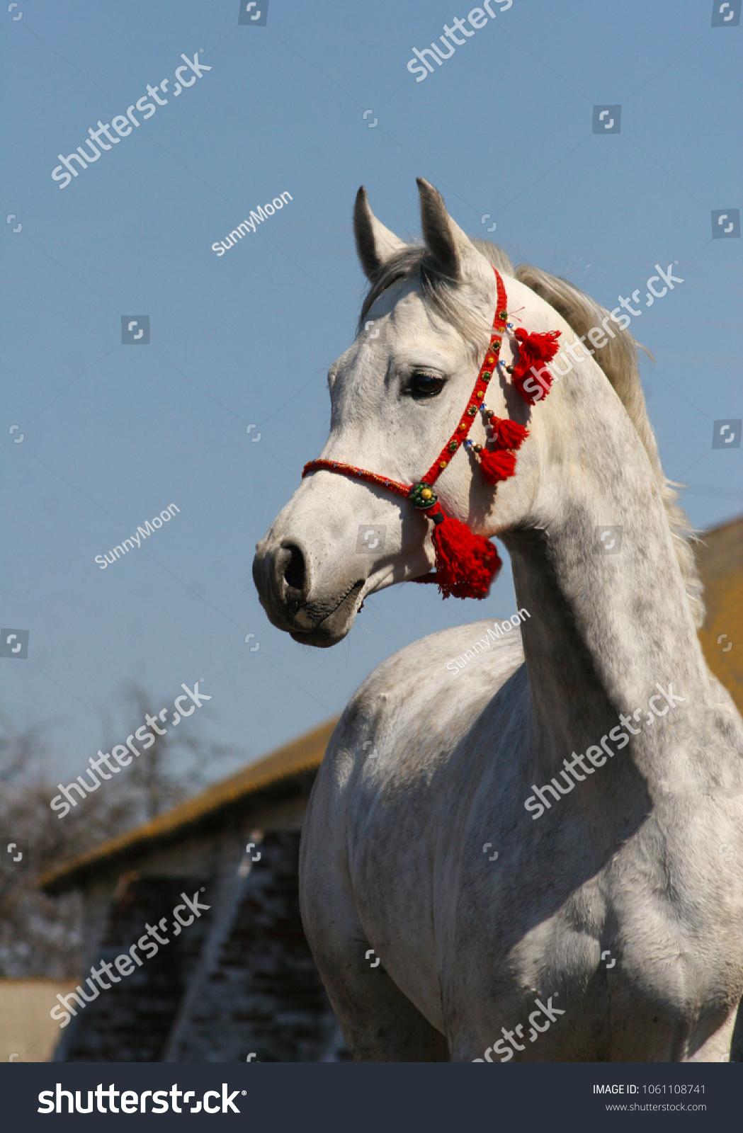 Purebred Arabian Horse Red Arabian Halter Stock Photo Edit Now 1061108741