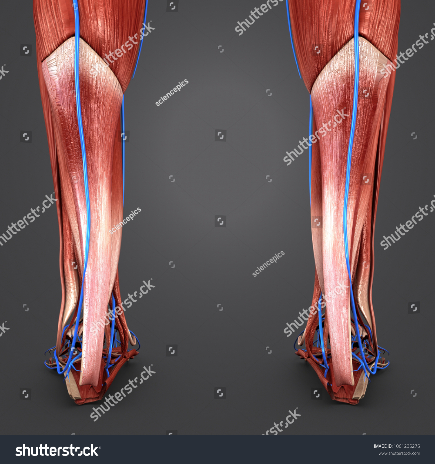 Legs Muscles Anatomy Veins Posterior View Stock Illustration