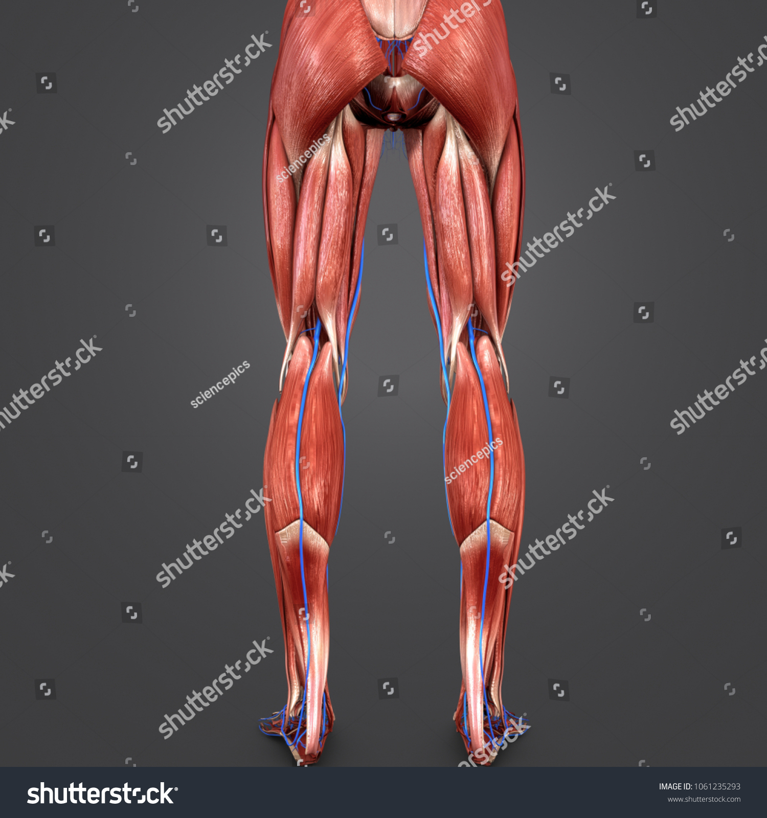 Lower Limbs Muscles Anatomy Veins Posterior Stock Illustration ...