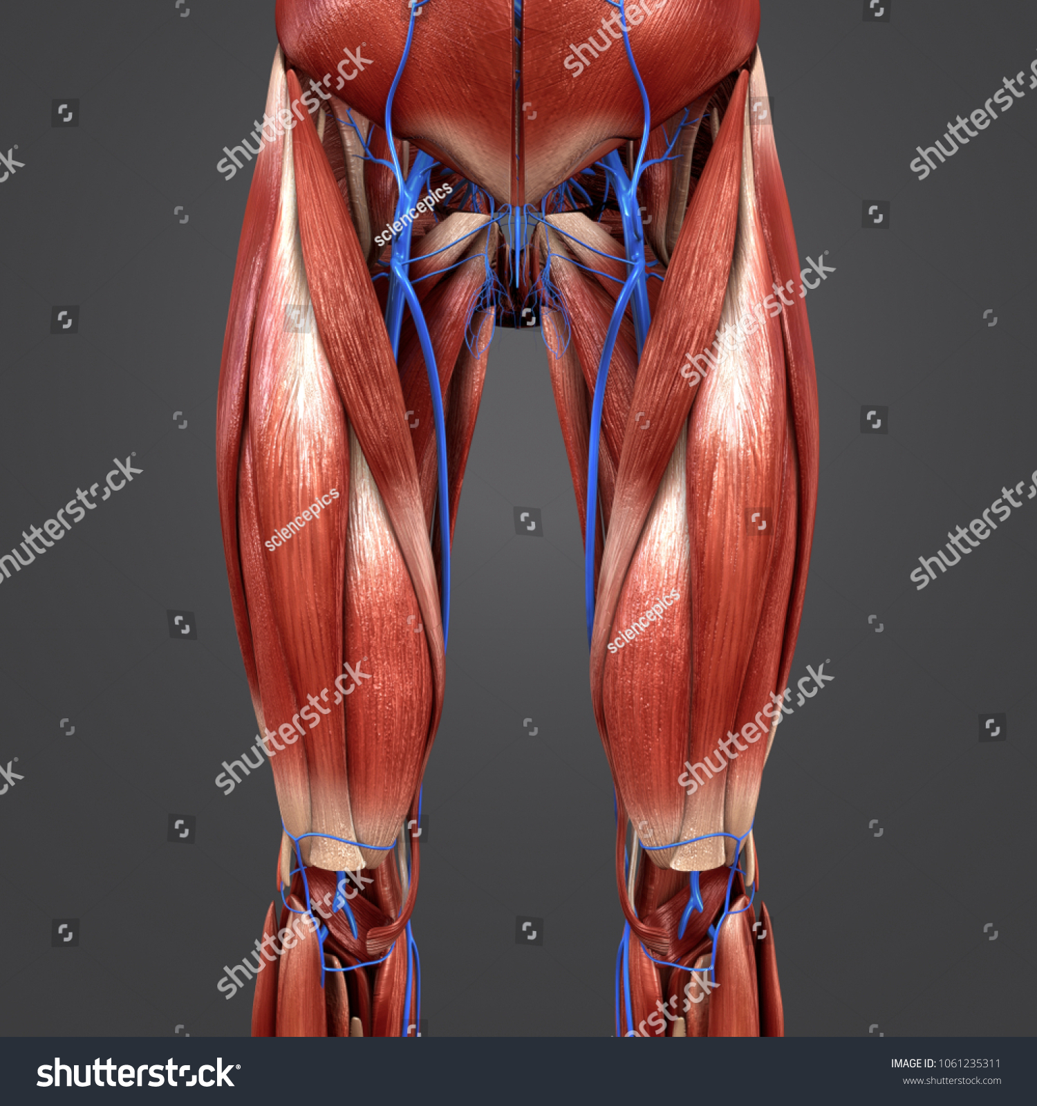 Hip Muscles Anatomy Veins Anterior View Stock Illustration - Royalty ...
