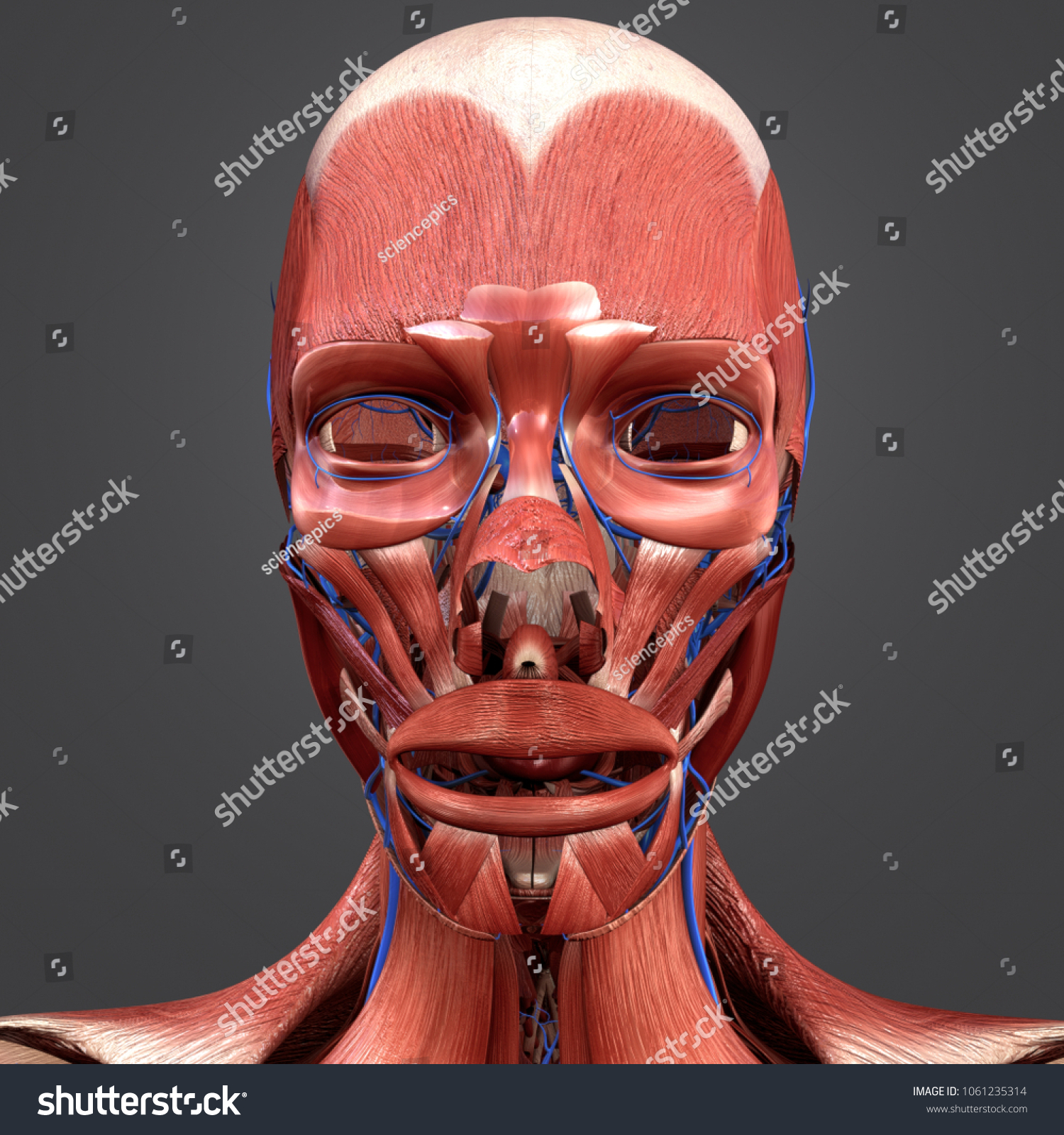 Facial Muscles Anatomy Veins 3 D Illustration Stock Illustration ...