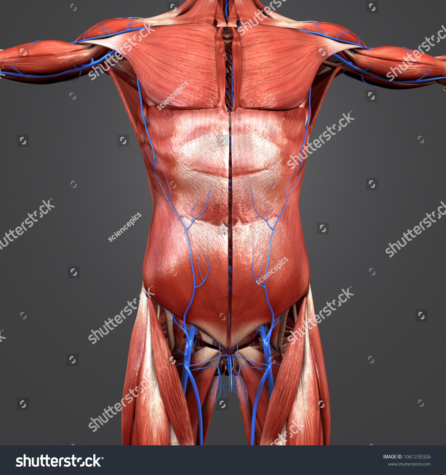 Human Muscles Anatomy Veins Anterior View Stock Illustration ...