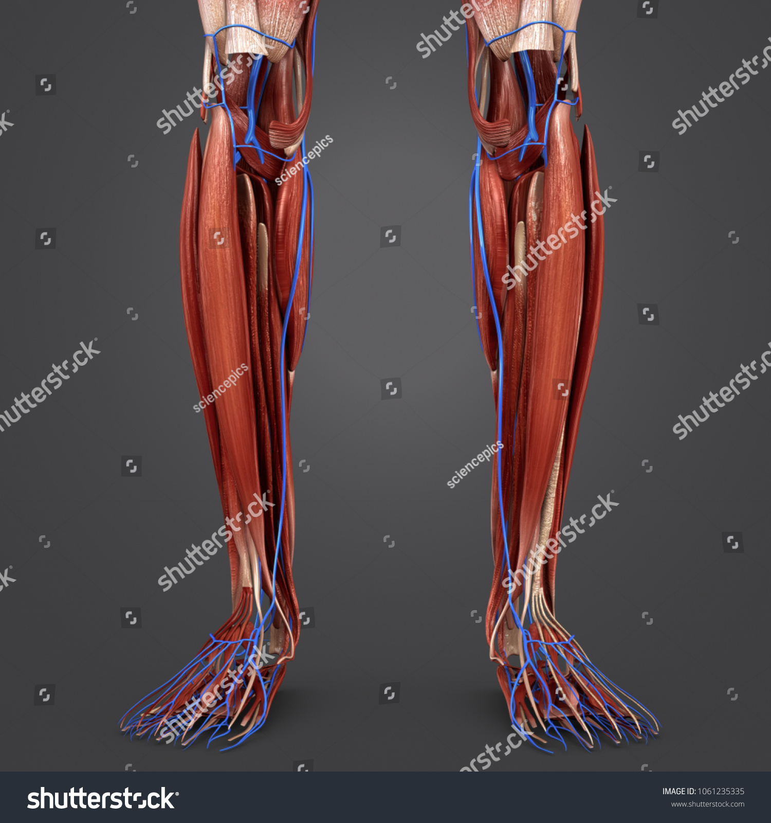 Legs Muscles Anatomy Veins Anterior View Stock Illustration ...