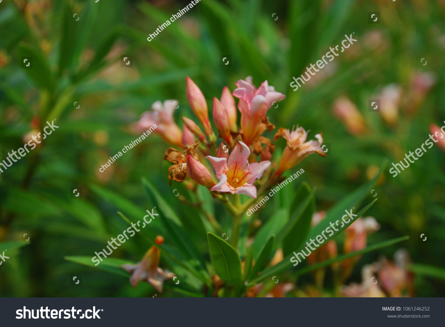 Nerium Oleander L Small Perennial Trunk Brown Stock Photo Edit Now