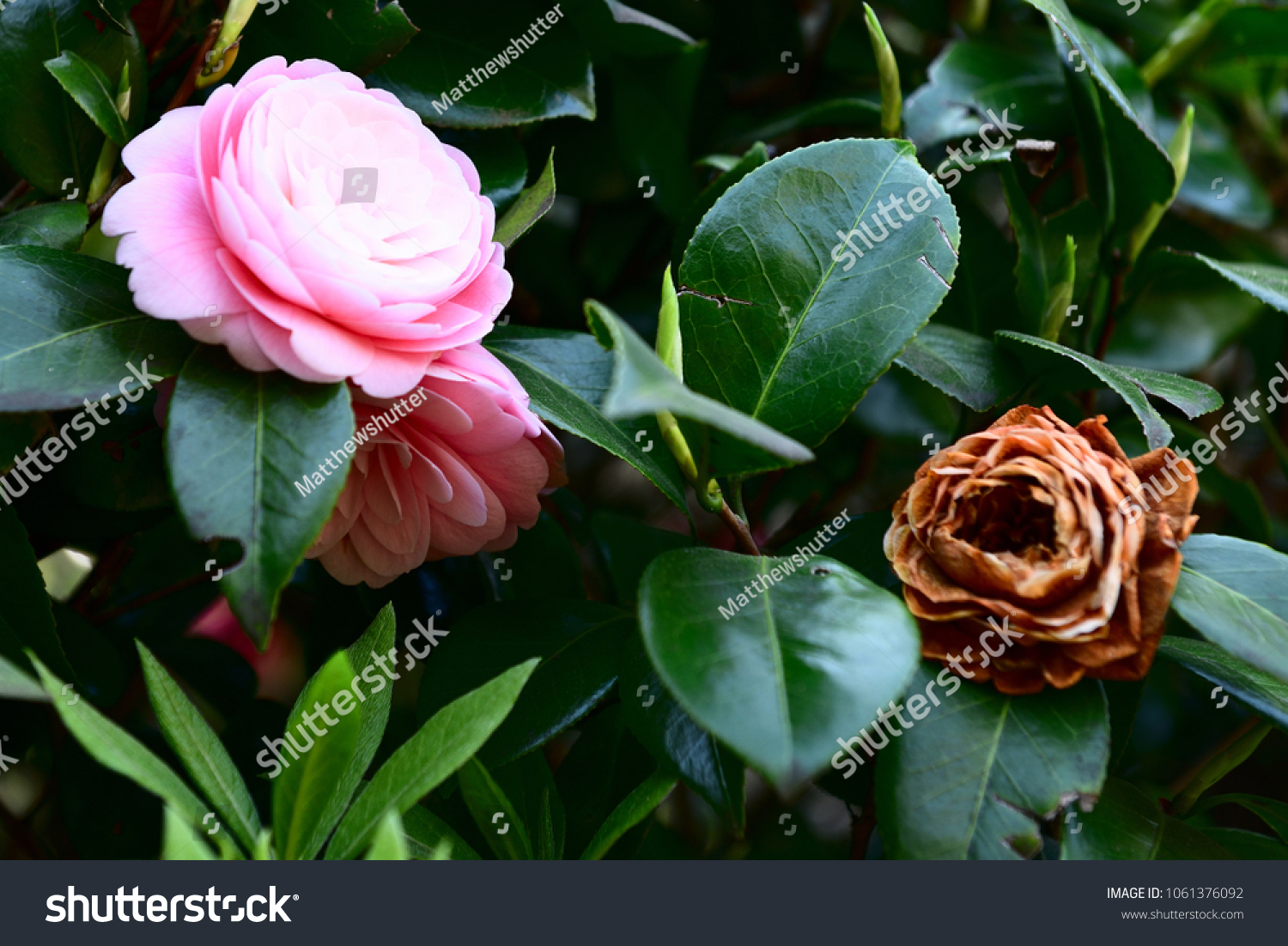Pink Camellia Flower Dying Flower Stock Photo Edit Now 1061376092