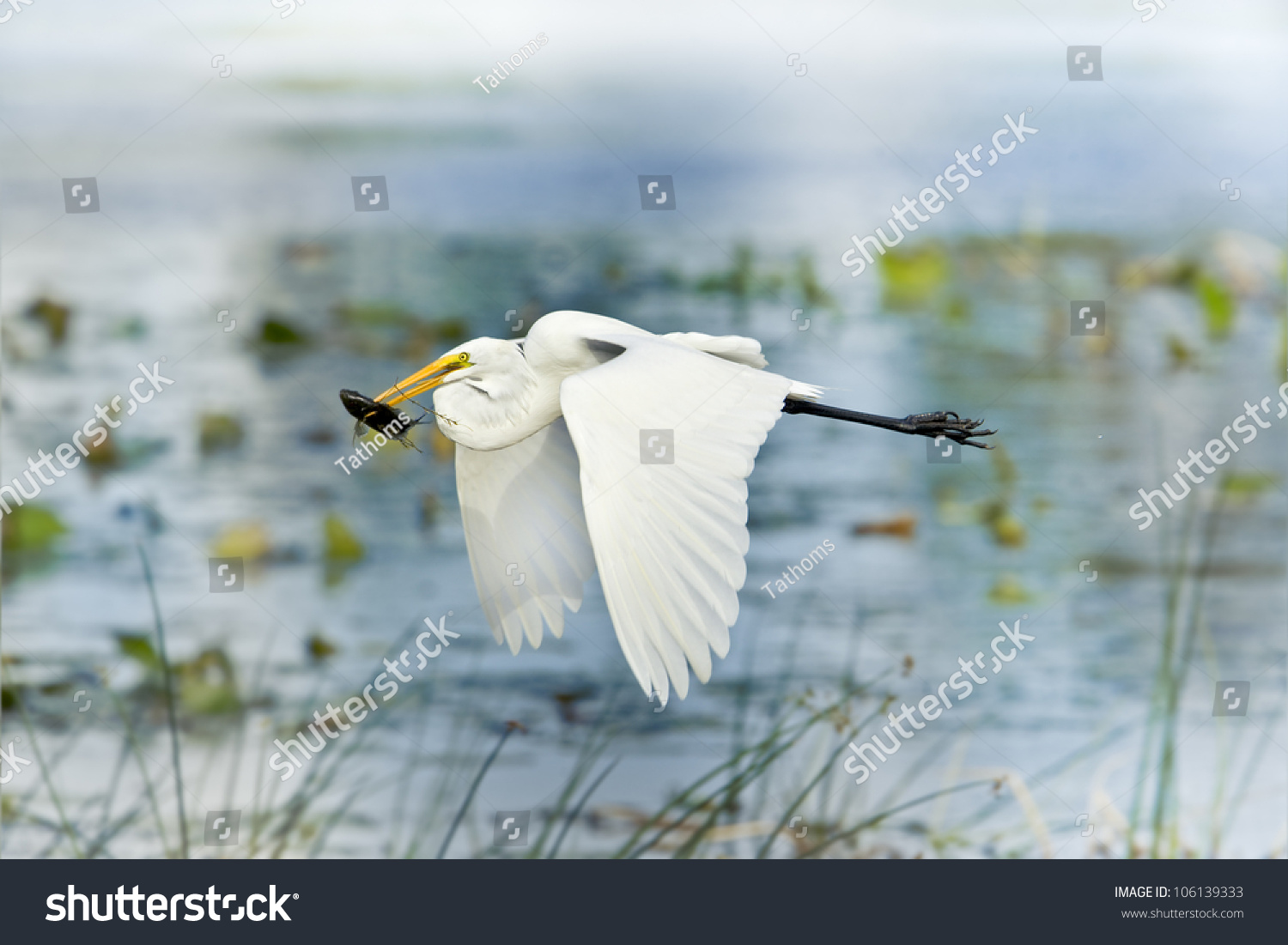 Great Egret with catch in beak flying above lake. Latin name - Ardea alba.