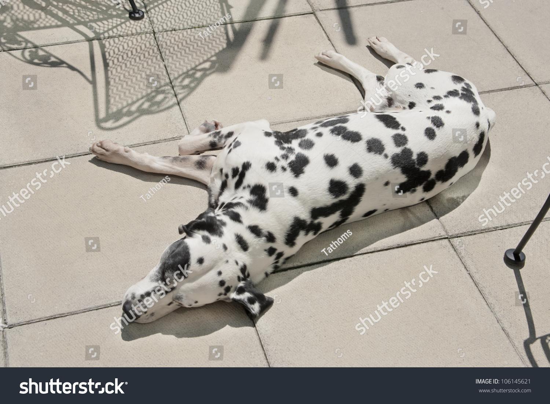 stock-photo-dalmatian-has-a-nap-on-the-p