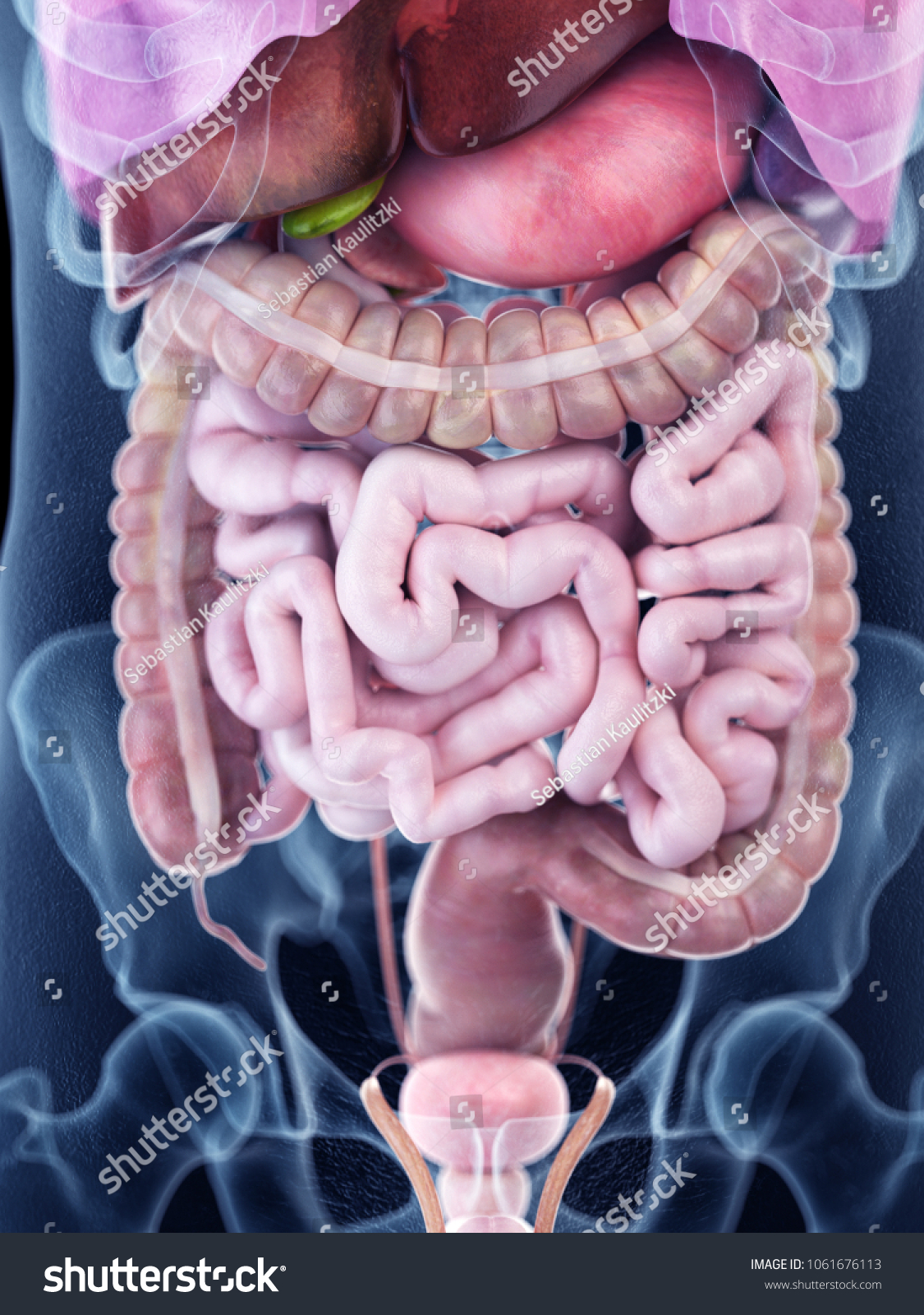 3 D Rendered Medically Accurate Illustration Human Stock