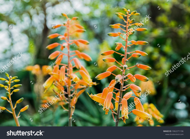 Yellow hanging flowers stock photo edit now 1062271196 shutterstock welcome to shutterstock mightylinksfo