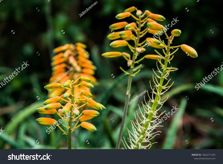 Yellow Hanging Flowers Stock Photo Edit Now 1062271205 Shutterstock