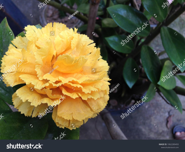 Yellow Carnation Flowerbeautiful Carnation Flower Blooming Stock