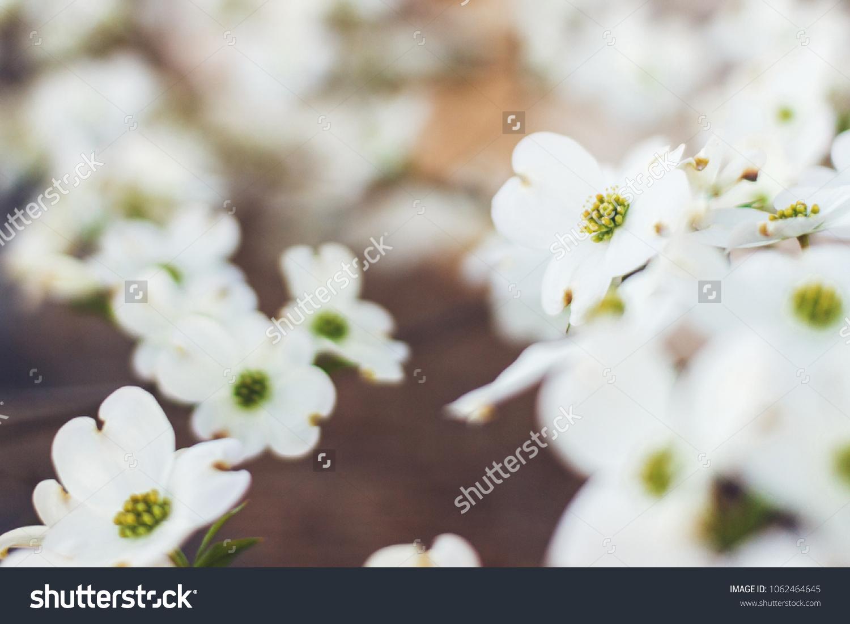 Closeup White Dogwood Flowers Spring Hanamizuki Stock Photo Edit