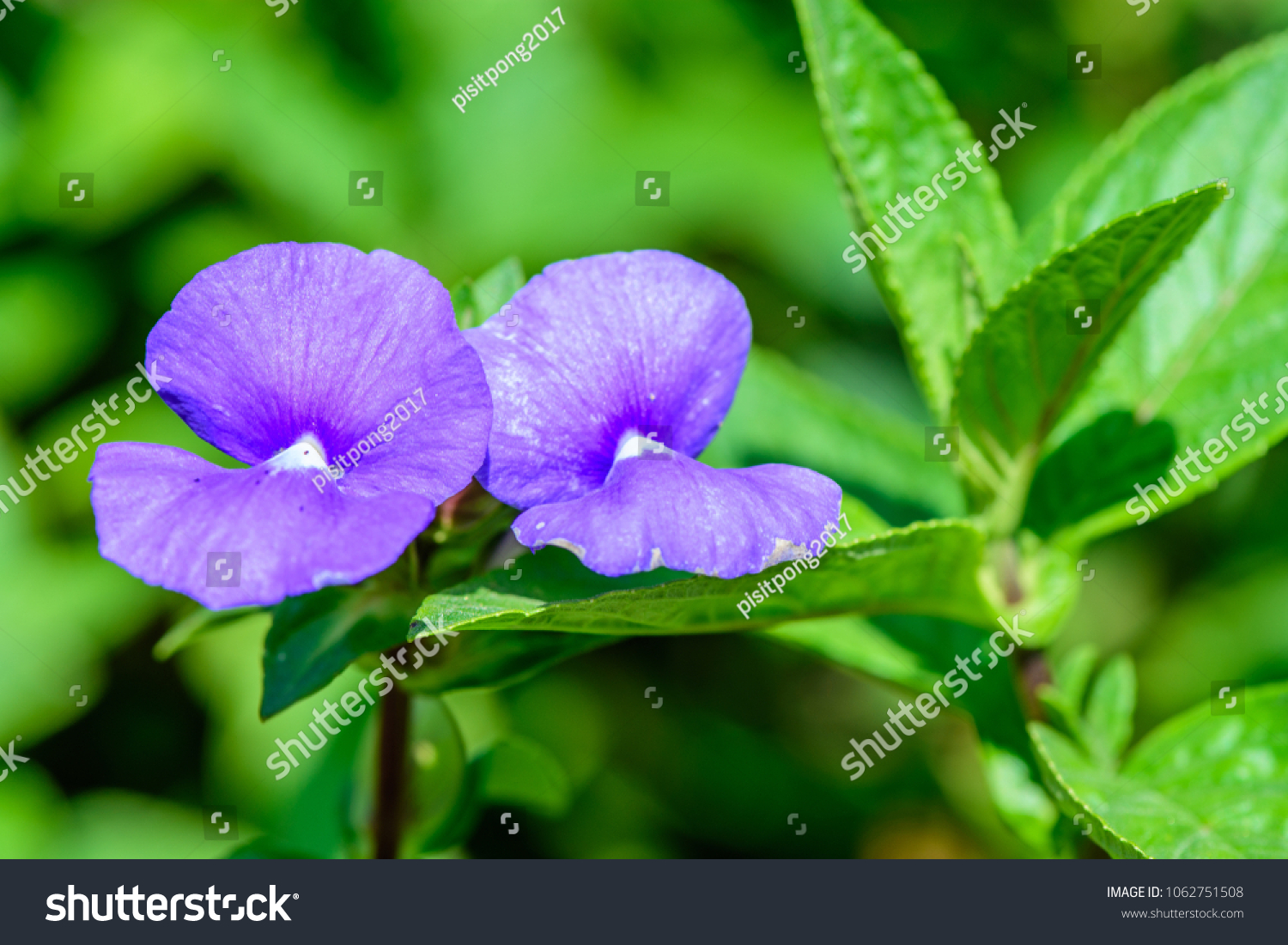 Otacanthus Caeruleus Blue Hawaii Brazilian Snapdragon Stock Photo