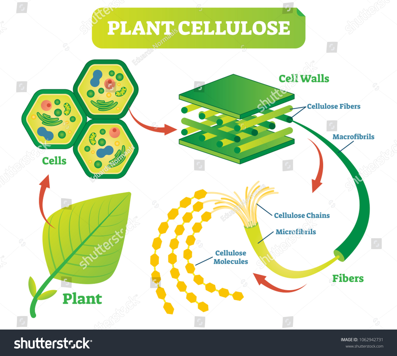 Image result for cellulose fibre biology diagram