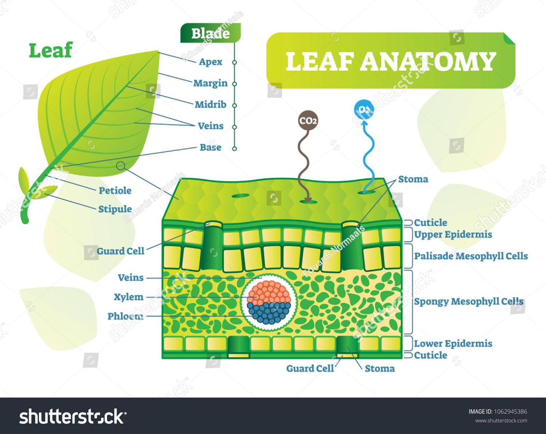 Leaf Anatomy Vector Illustration Diagram Biological Stock