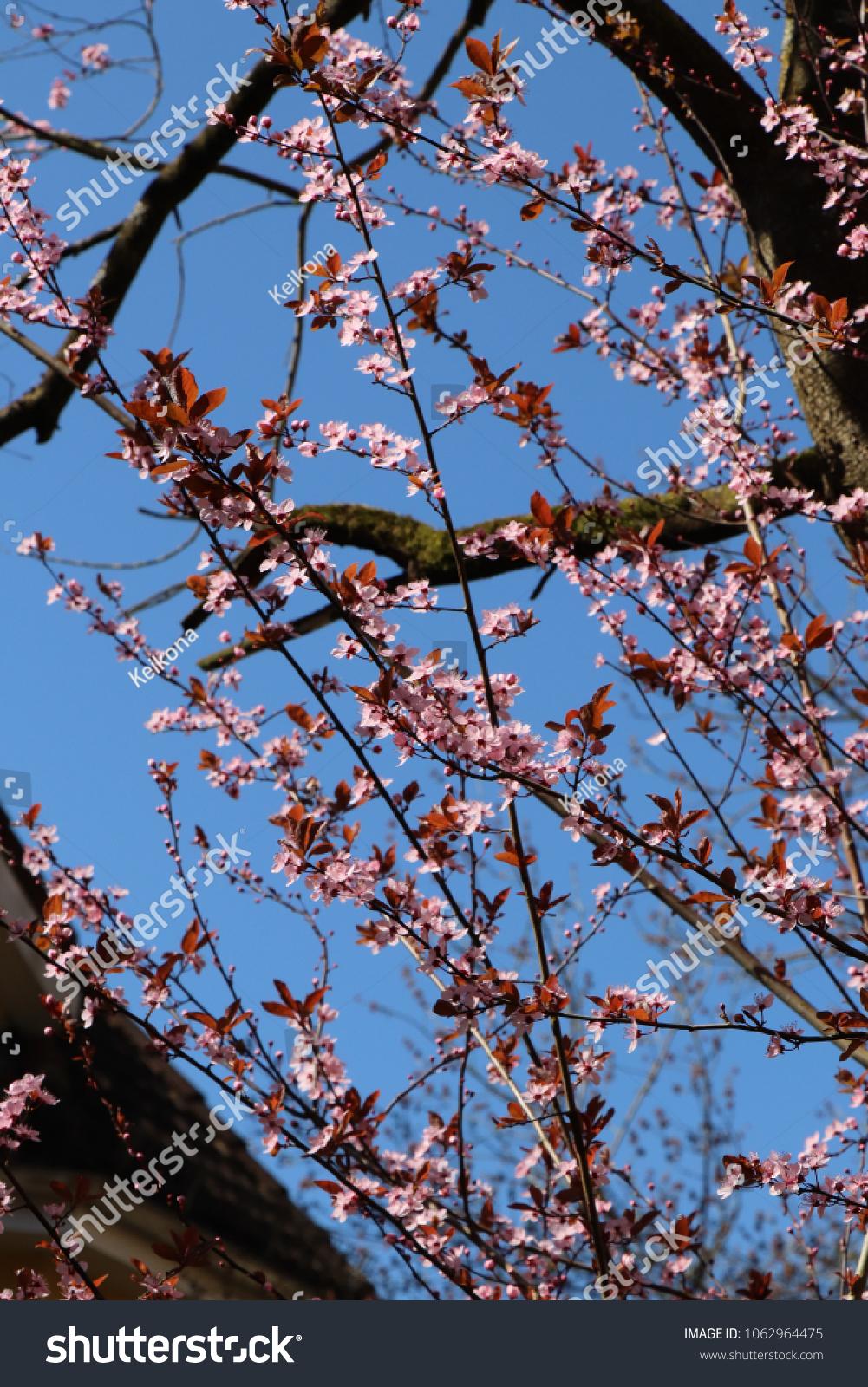 Blood Plum Blossom Twigs Purple Leaf Stock Photo Edit Now