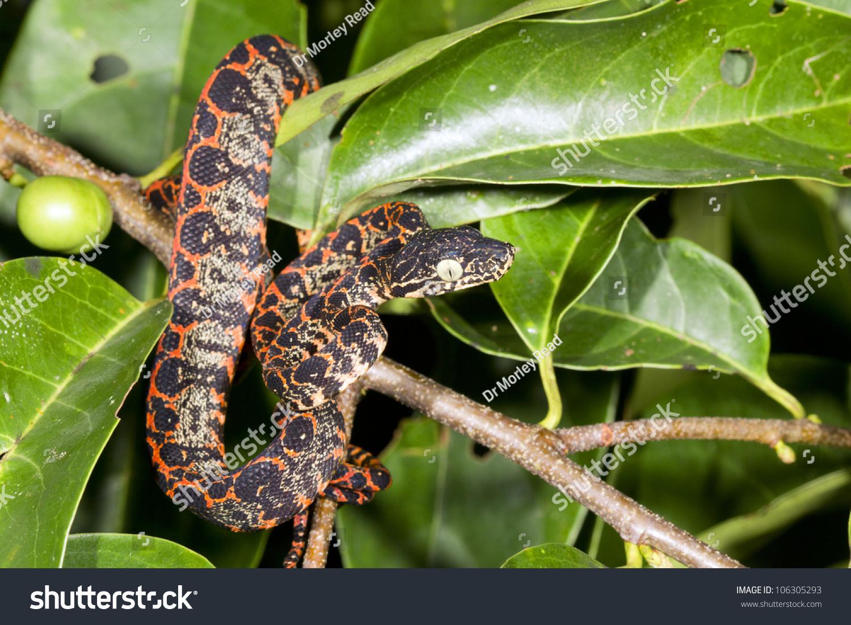 Juvenile Amazon Tree Boa Corallus Hortulanus Stock Photo (Edit Now ...