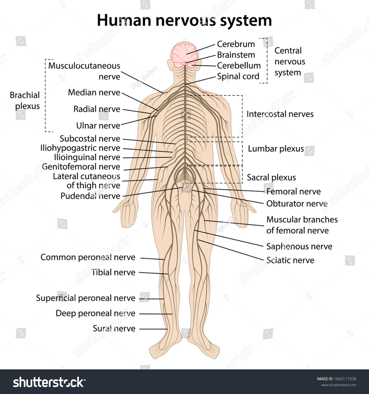 human nervous system main parts labeled stock vector (royalty free