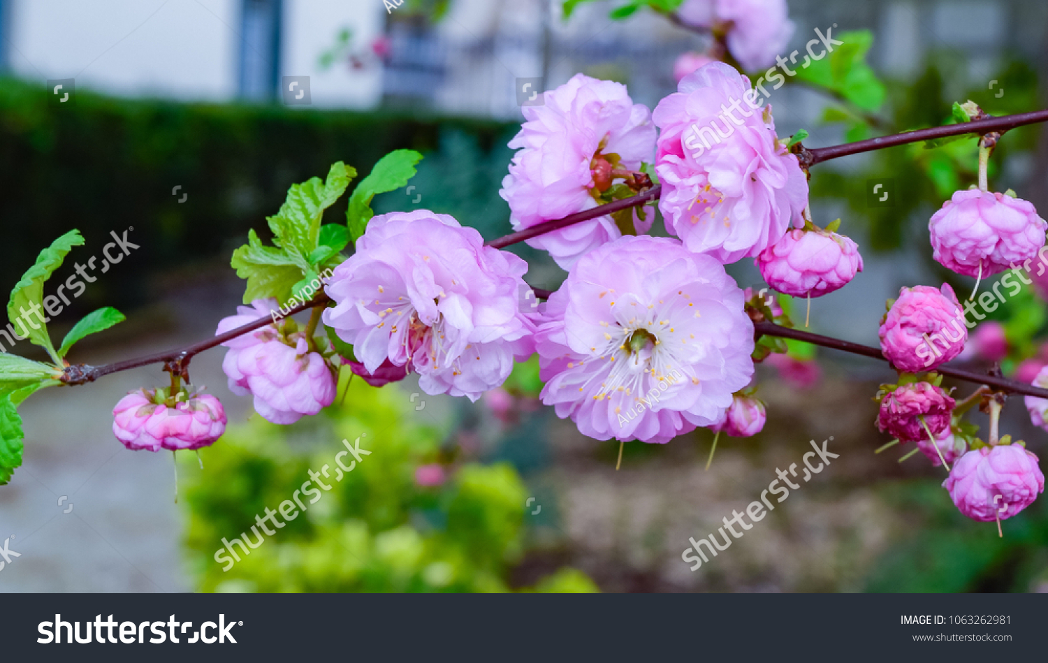 Beautiful pink flowers spring season started stock photo edit now beautiful pink flowers of spring season started clean air different colors in the garden mightylinksfo
