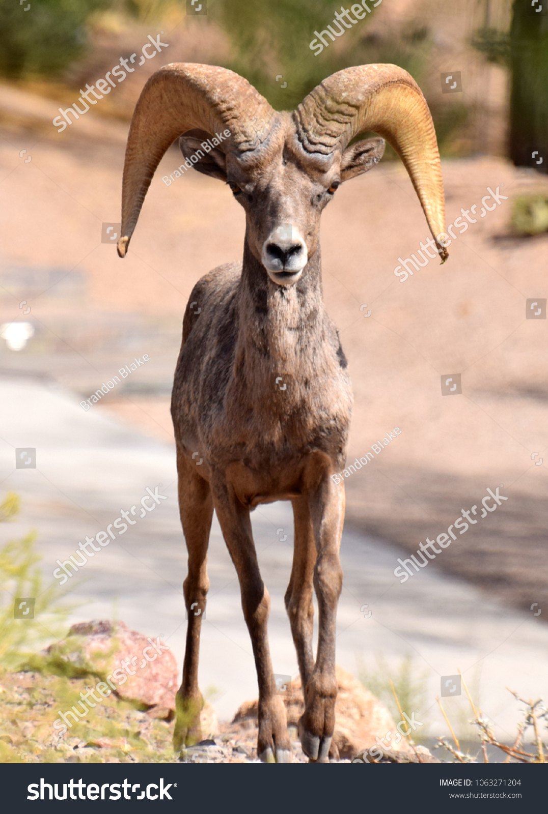 Nevada Desert Bighorn Sheep Ram Animals Wildlife Stock Image 1063271204