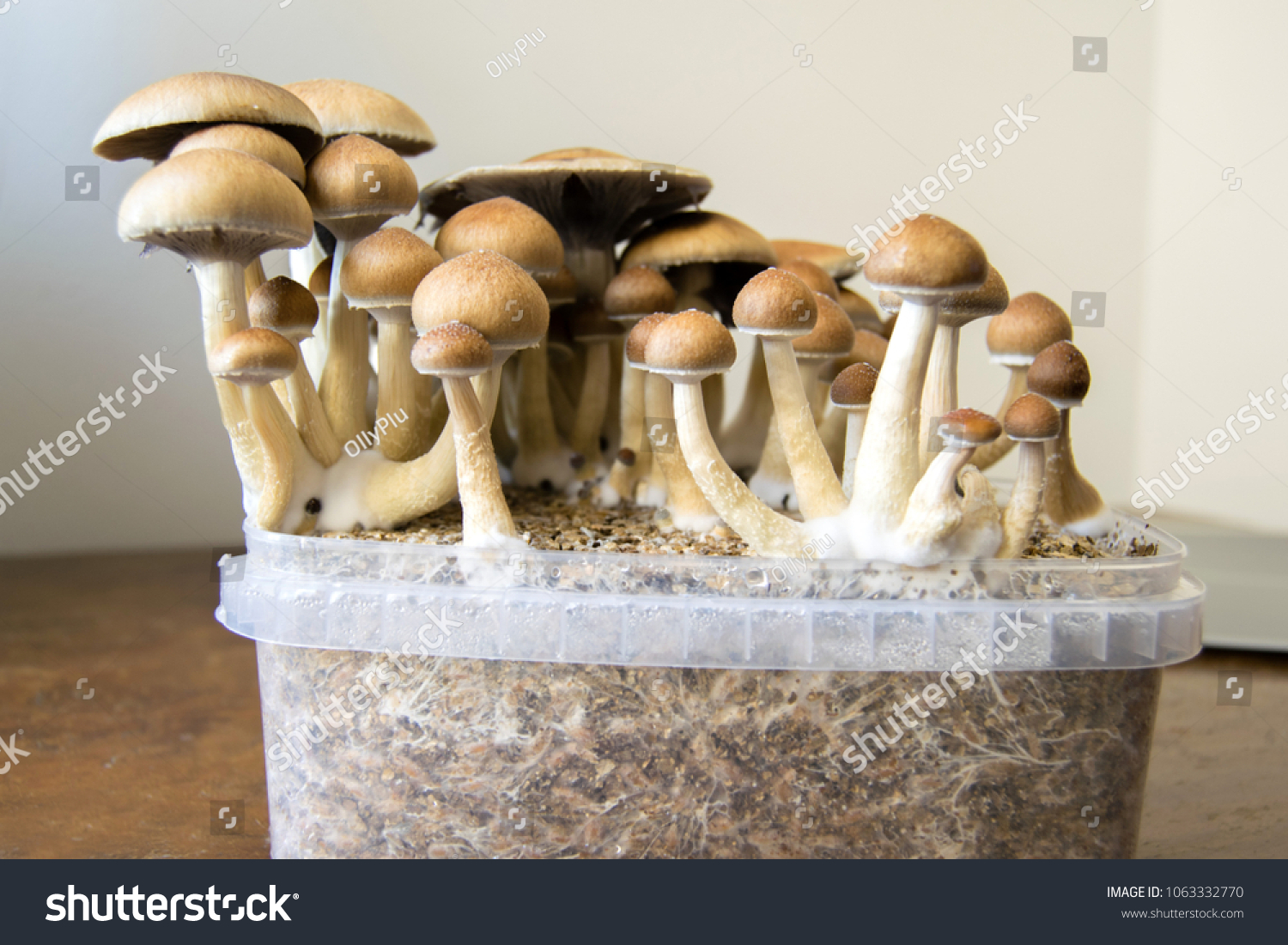Psychedelic Magic Mushrooms Growing Home Cultivation Stock