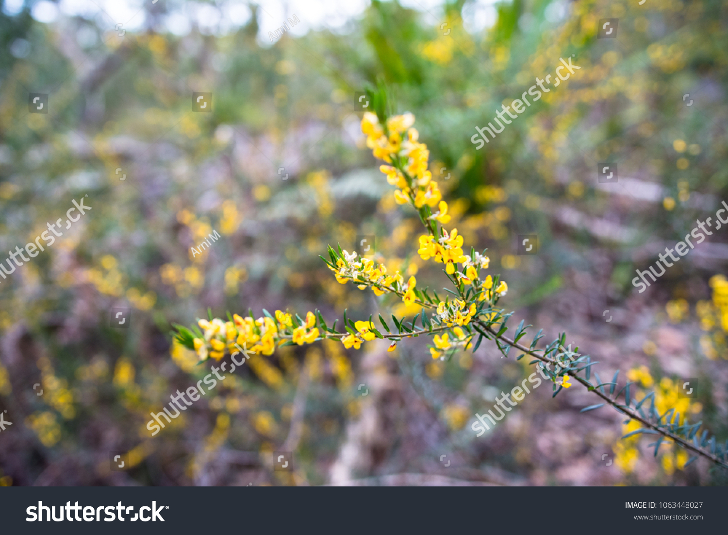 Yellow Australian Native Pea Flower Plant Stock Photo Edit Now