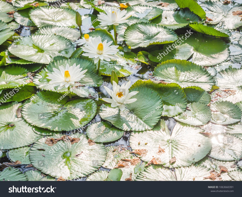 White Lotus Water Lily Aquatic Flowering Stock Photo Edit Now