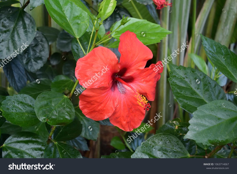 Red hibiscus flower in the garden of vietnam nha trang ez canvas id 1063714067 izmirmasajfo