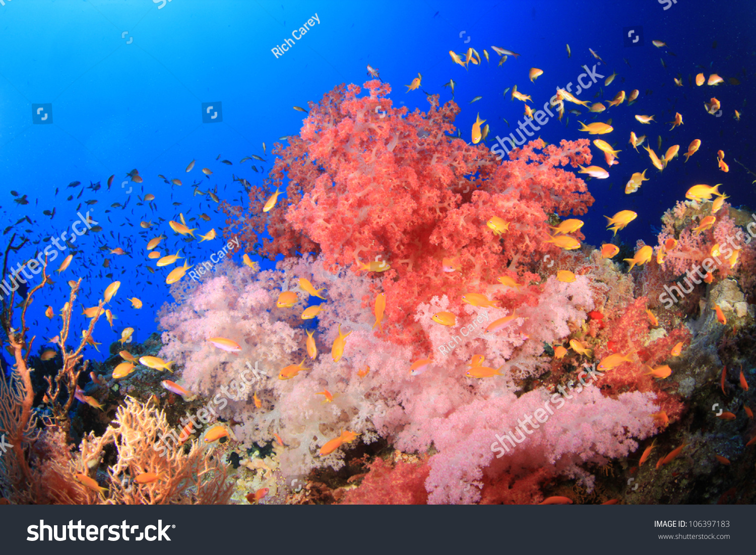 Beautiful Coral Reef Tropical Fish Blue Stock Photo (Royalty Free ...