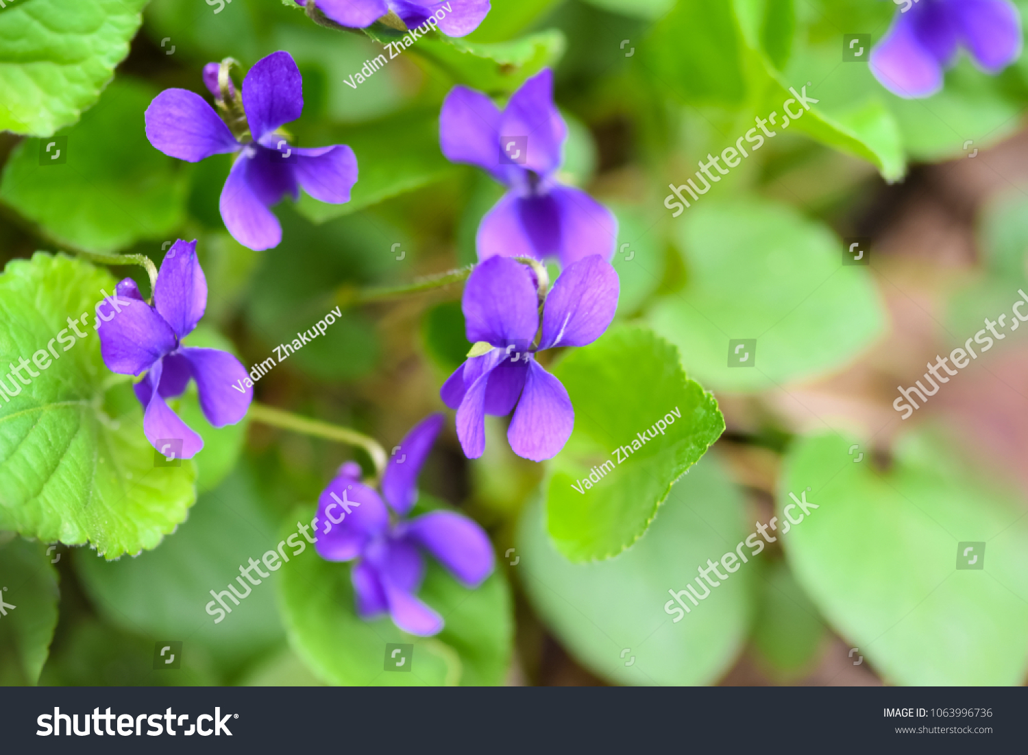 Beautiful Spring Flower Forest Early Spring Herbaceous Stock Photo
