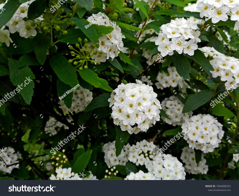 White Flowers Blossom Shrub Bush Tree Stock Photo Edit Now