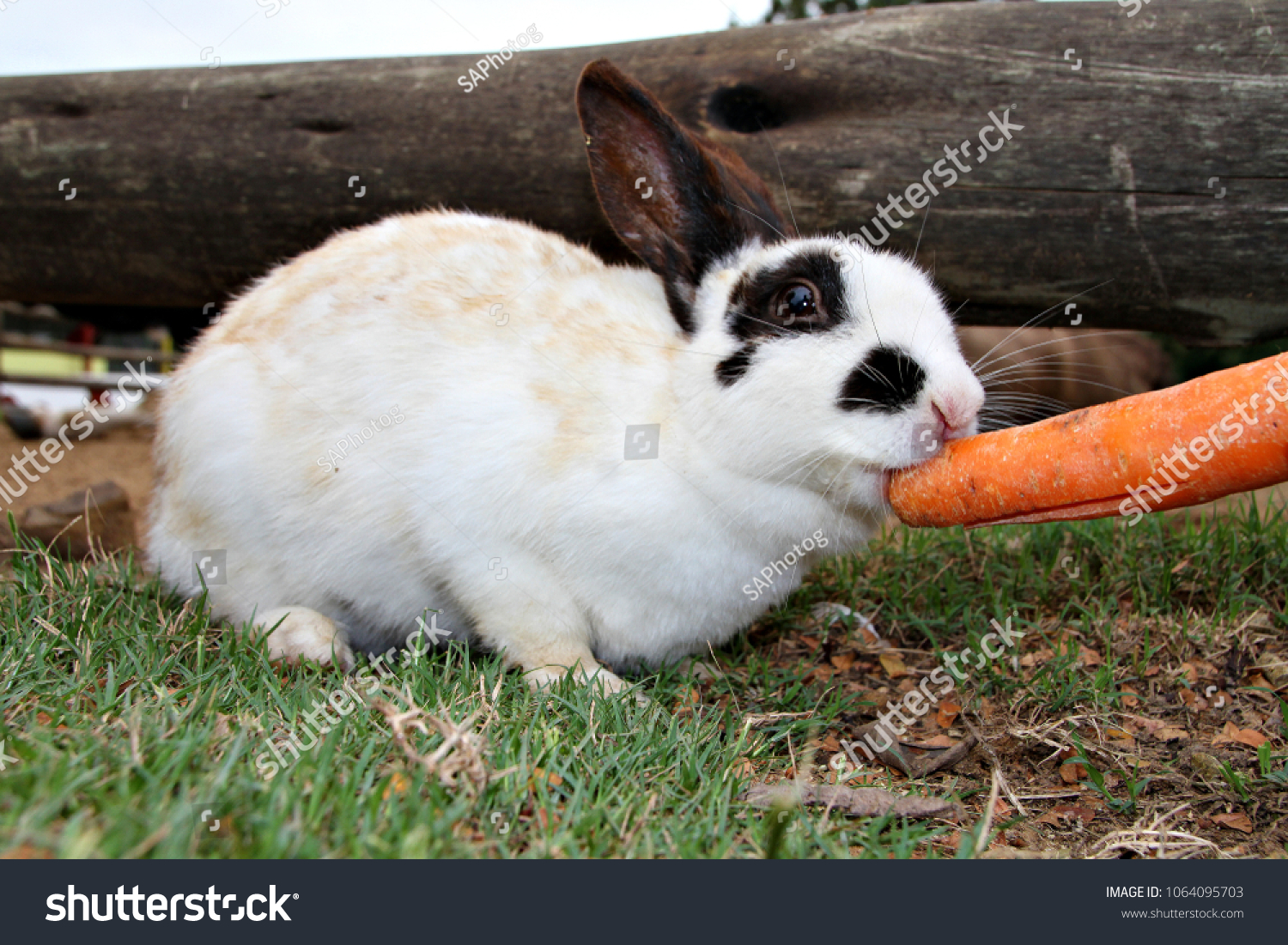 Cute Bunny Rabbit Nibbling On Carrot Stock Photo Edit Now 32