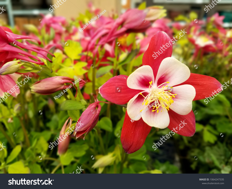 Red White Origami Columbine Flowers Stock Photo Edit Now