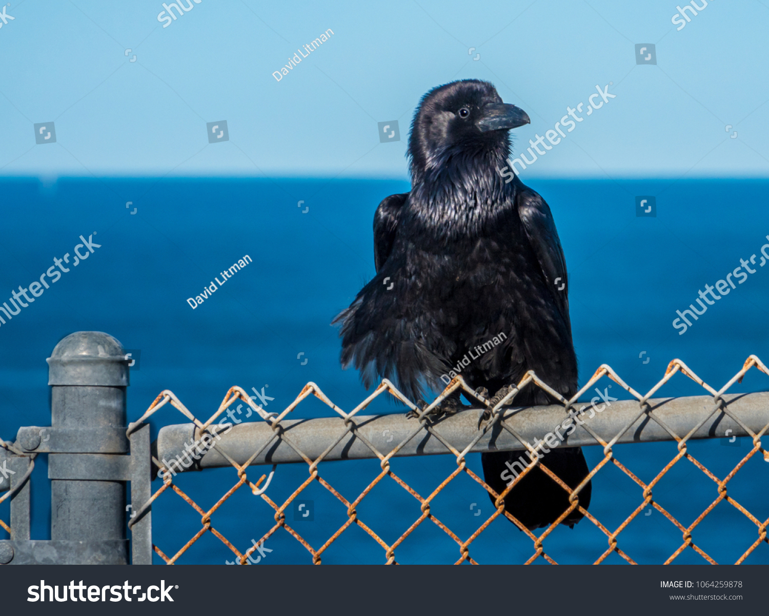 A Blackbird perched on a chain-link fence overlooking the Pacific Ocean in San Pedro, California, close to the Los Angeles Harbor.