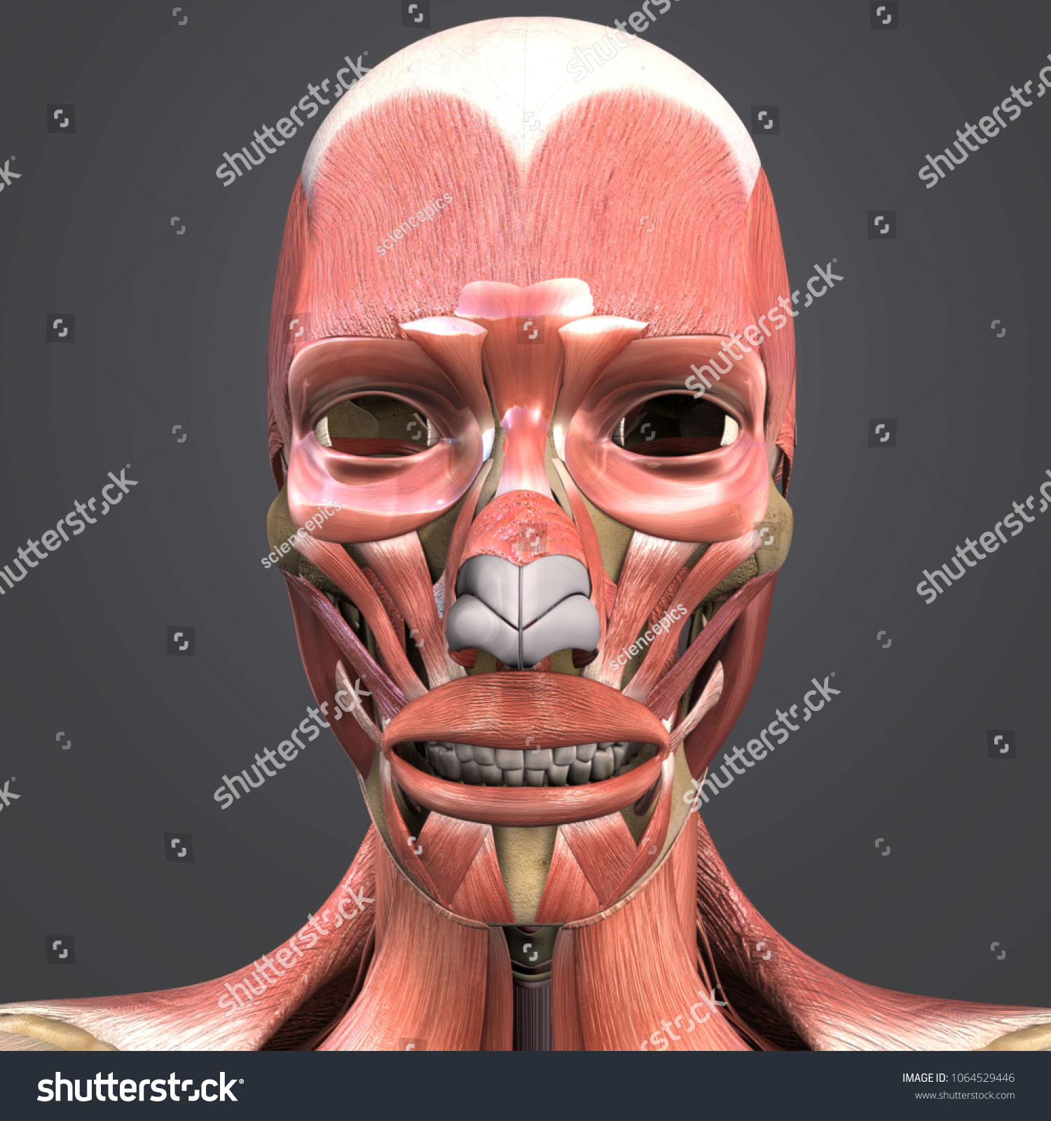 Facial Muscle Anatomy Skeleton Anterior View Stock Illustration